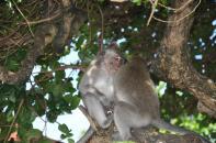 Monkeys at Uluwatu Temple